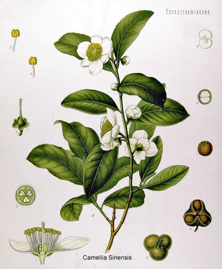 Bollitori Teiere Chicchere e Piattini Camellia Sinenis